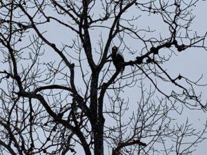 天然記念物はのオオワシとオジロワシは似ていますが、オオワシは黒、オジロワシは薄茶色の鳥だそうです。