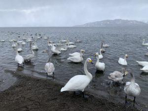 10月~4月の間、白鳥が数百羽もやってきて屈斜路湖で冬を越すそうです。