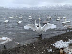 カメラ目線の白鳥