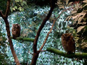 アフリカオオコノハズクとインディアンスコップオウル。